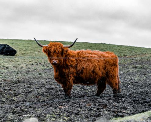 skotsk højlandskvæg plakat ko tyr billede af mark i danmark